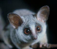 bushbaby on Pinterest   Primates, Big Eyes and Africa