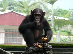 Travel broadens chimps' horizons too - https://scienceblog.com/486113/travel-broadens-chimps-horizons-chimpanzees-travel-frequent-tool-users/