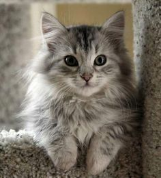 Kedi Latte + | 21 sevimli kedi resim
