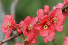 I enjoy the cultivars of Chaenomeles speciosa that I grow from the Double Take™ series. You can read more about this popular shrub for the spring landscape here: http://landscaping.about.com/od/Tall-Perennials/p/flowering-quince-shrubs.htm