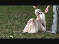 Show Dog Shih Tzu - LEXUS SHIH TZU - Par D'Ellas Felline - YouTube