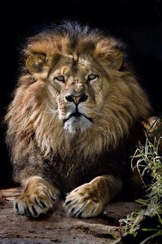 The roaring African lion - http://pinstor.us/articles/african-lion-facts-the-sub-saharan-big-cats/