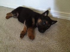 Tiny German Shepherd