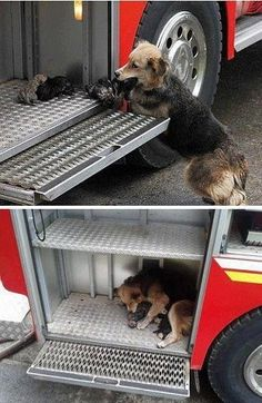 This dog saved all her puppies by moving them from a burning house into the firemen truck.  You've got to admire moms