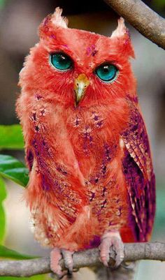 "NOT ""Red owl. According to Wikipedia, the Red Owl is mainly in Madgascar. Is considered Vulnerable. HOAX--artificially colored--and this owl is not supposed to be an earred owl! Real thing looks like a barn owl. Exotic Birds, Colorful Birds, Exotic Pets, Colorful Animals, Unique Animals, Rare Birds, Exotic Flowers, Rare Animals, Animals And Pets"