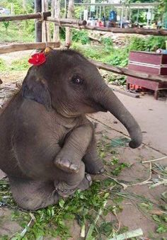 Cute little baby elephant on imgfave - Donna Gilchrist - Photo Elephant, Elephant Love, Baby Elephants, Pics Of Elephants, Baby Hippo, Asian Elephant, Cute Funny Animals, Cute Baby Animals, Animals And Pets