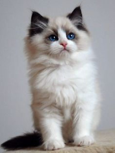 Chaton ragdoll - I  own 5 Ragdolls kitties but I am unfamiliar with this Chaton breed. He looks adorable ❤❤❤