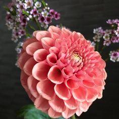 Rose, Illustration, Flowers, Plants, Pink, Roses, Illustrations, Flora, Royal Icing Flowers