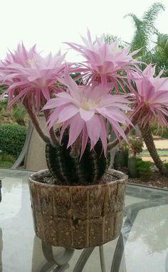 Cactus. Preciosas flores
