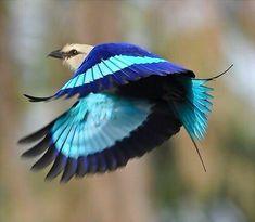 アオハラニシブッポウソウ (青腹西仏法僧)  Blue-bellied roller (Coracias cyanogaster)