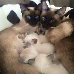 Siamese cats are light as kittens...get darker with age.