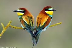 Tweethearts: Two multi-coloured European bee-eaters form a romantic shape as they relax and perch during the nesting period in Israel