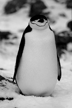 What A Smile!  Penguins - Antarctica