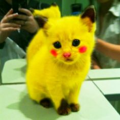 The Pikachu Kitty Cat. only because it is a Pikachu Chat Pikachu, Cat Pokemon, Pokemon Fan, Pikachu Funny, Pokemon Names, Pokemon Room, Funny Minion, Pokemon Stuff, Cute Funny Animals