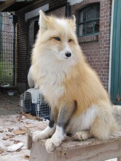 The noble pet fox, can't wait to have one of these