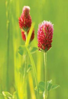 Red Clover: Good luck for the #Garden