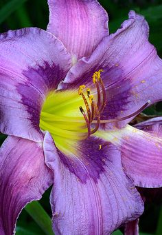 Daylily 'Blueberry Breakfast'