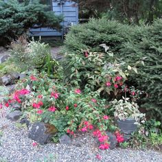 Northwest Fuchsia Society Hardy Fuchsia List and how to care for them and give them fertilizer.