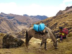 One of the mules carrying equipment for a trek though the lares valley.