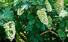 FLIKHORTENSIAN – SKA BESKÄRAS FÖRSIKTIGT Flikhortensia, H. quercifolia, med ursprung i sydöstra USA, odlas inte bara för de krämfärgade blommorna, som kommer redan under försommaren, utan lika mycket för sina stiliga ekliknande, stora blad. Blir ungefär 2,5 meter hög. Klarar ungefär zon 2, hör hemma i södra Sverige och bör täckas som unga. Ska inte beskäras lika hårt som andra hortensior.