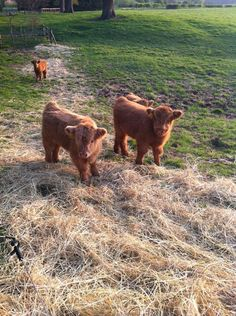 There are Highland cow calfs one mile from my house - Imgur