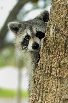 Does anyone else think #raccoons are adorable? - #cuteanimals  http://www.girlsaskguys.com/other/q1185177-does-anyone-else-think-raccoons-are-adorable