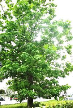 #DiadaÁrvore Melhoram a qualidade do ar Atenuam a poluição sonora Evitam a erosão do solo