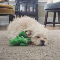 Cute little fluff ball Sprocky, sleeping with his flipper-flapper