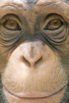 Chimpanzee Face by Evan Animals, via Flickr