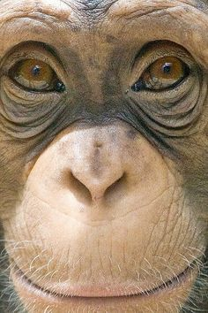 Chimpanzee Face by Evan Animals, via Flickr