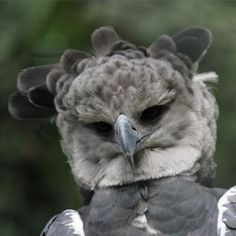 "This bird is really quite amazing. Watch the PBS Nature episode ""Jungle Eagle"" to learn more about the Harpy Eagle."