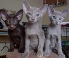 Oriental - Most Affectionate Cat Breeds Pretty Cats, Beautiful Cats, Pretty Kitty, Funny Cats And Dogs, Cats And Kittens, Siamese Cats, Oriental Cat Breeds, Chat Oriental, Ragdoll Cat Breed