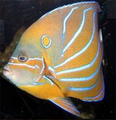 Bluering Angelfish found on epa.gov