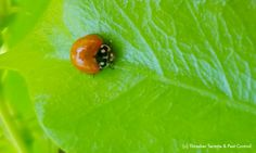 There are over 5,000 species of ladybugs world wide, and hundreds of species in…