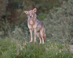 jumping coyote - Google Search