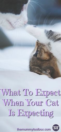all about cat pregnancy. What to expect during pregnancy, labour and post birth. Also how you can help, what to look out for and when you should seek advice from the vet Cat Care Tips, Pet Care, Siamese Cats, Cats And Kittens, Cat Birth, Pregnant Cat, Cats Tumblr, Feline Leukemia, Cat Run