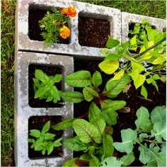 Herbs and marigolds (companion planting) planted in cinder block holes surrounding raised bed.
