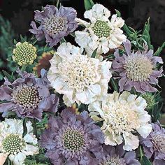 Scabiosa House's Hybrids flowers in lavender, blue, and silver-white. -Swallowtail