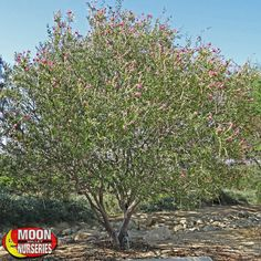 Trees | Flowering Trees | Desert Willow | Moon Valley Nurseries