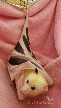 Truly a Beautiful Bat! Love the coloration, not to mention the dainty crossing of the feet at the ankle! Cute Creatures, Beautiful Creatures, Animals Beautiful, Cute Baby Animals, Animals And Pets, Funny Animals, Strange Animals, Murcielago Animal, Bat Flying