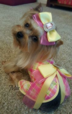 Yorkie, Teacup, yellow, pink