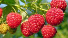 Raspberry Canes, Raspberry Bush, Raspberry Seeds, Raspberry Tree, Fruit Bushes, Fruit Plants, Potted Plants, Pic Vert, Growing Raspberries