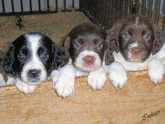 Adorable springer spaniel puppies.