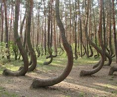 The Crooked Forest of Poland. Nature is amazing.