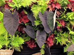 Striking combination - ferns, caladiums and heuchera