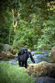 Trek to see the Gorillas Rwanda - Africa http://www.nyakaschool.org/2013_DonorTrips.php