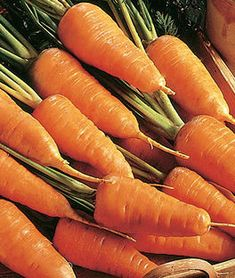 Early Nantes Large Organic Vegetable 15000 Seeds Carrot