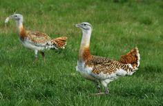 A Körös-Maros Nemzeti Park fontos madárlelőhely. Területén található a dévaványai túzokrezervátum is.