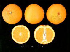 Variedades de Naranjas, Blancas, Sanguinas y Navels