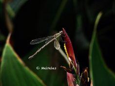 Devaneios by João Meireles: Dragonfly